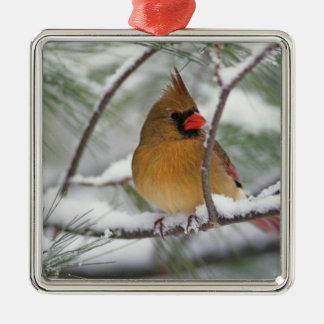 Cardenal septentrional de sexo femenino en árbol d ornamento de navidad