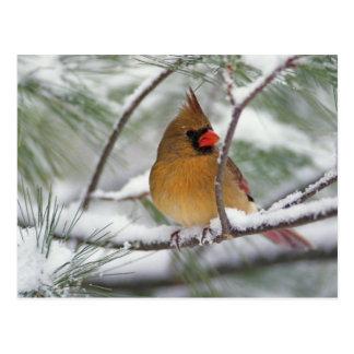 Cardenal septentrional de sexo femenino en árbol d postal
