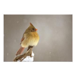 Cardenal septentrional de sexo femenino en nevado fotografía