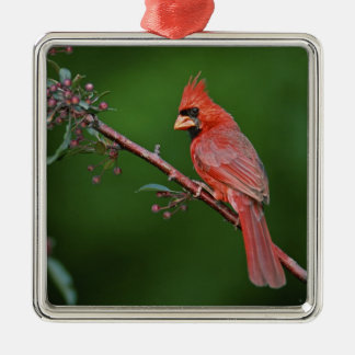 Cardenal septentrional de sexo masculino Cardinal Adorno