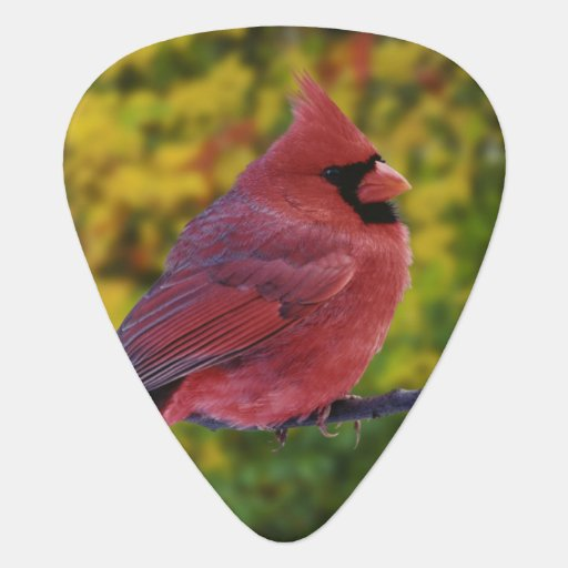 Cardenal septentrional de sexo masculino en el oto plumilla de guitarra