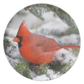 Cardenal septentrional en árbol de abeto de plato de comida