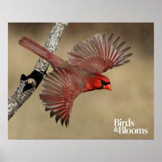 Cardenal septentrional en vuelo póster