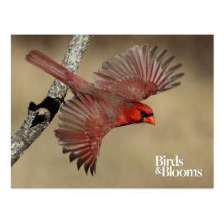 Cardenal septentrional en vuelo tarjetas postales