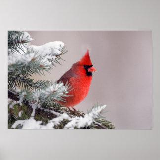 Cardenal septentrional encaramado en un árbol impresiones