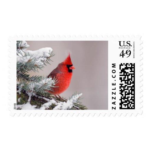 Cardenal septentrional encaramado en un árbol franqueo