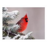 Cardenal septentrional encaramado en un árbol tarjeta postal