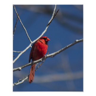 Cardenal septentrional posters