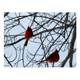 Cardenales en un árbol postal