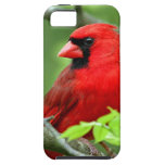 Cardenales septentrionales iPhone 5 protectores