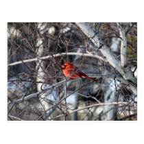 Cardinal 2926 Postcard