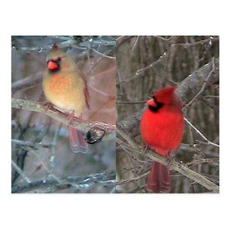 Cardinal Couple postcard