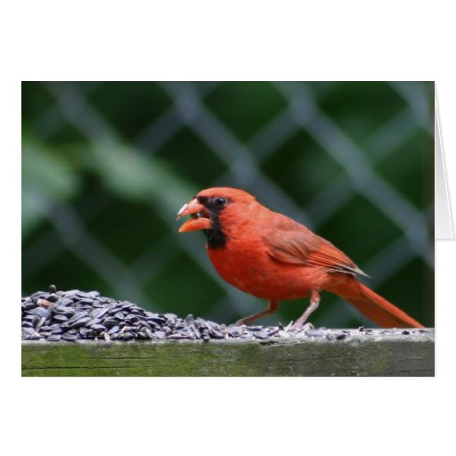 Cardinal Eating Seed Card