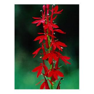 Cardinal flower flowers postcard