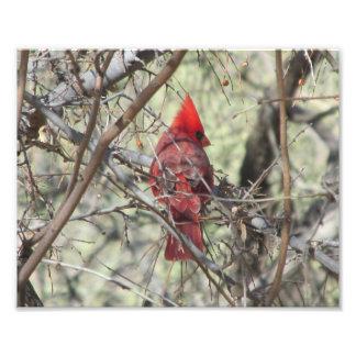 Cardinal Foto