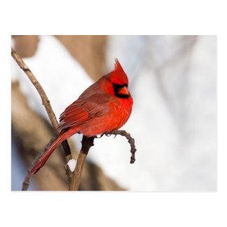 Cardinal II Postcard