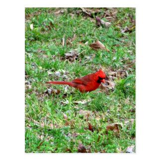 Cardinal In A Field Postcard