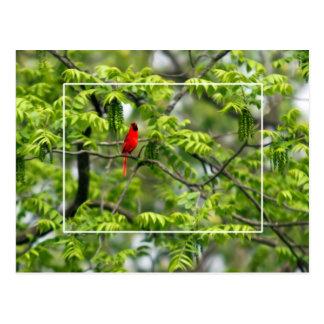 Cardinal in a Honey Locust Tree Postcard