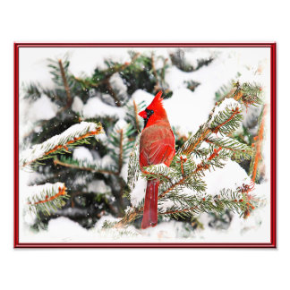Cardinal in a pine tree photograph