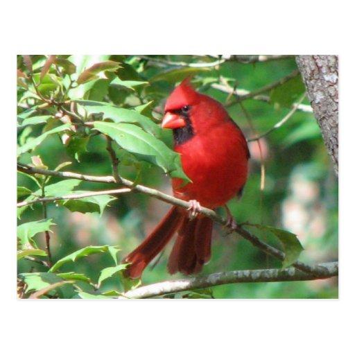 Cardinal in Holly Postcard