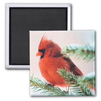 Cardinal in Snow Dusted Fir Magnet