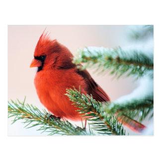 Cardinal in Snow Dusted Fir Post Card
