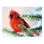 Cardinal in Snow Dusted Fir Postcard