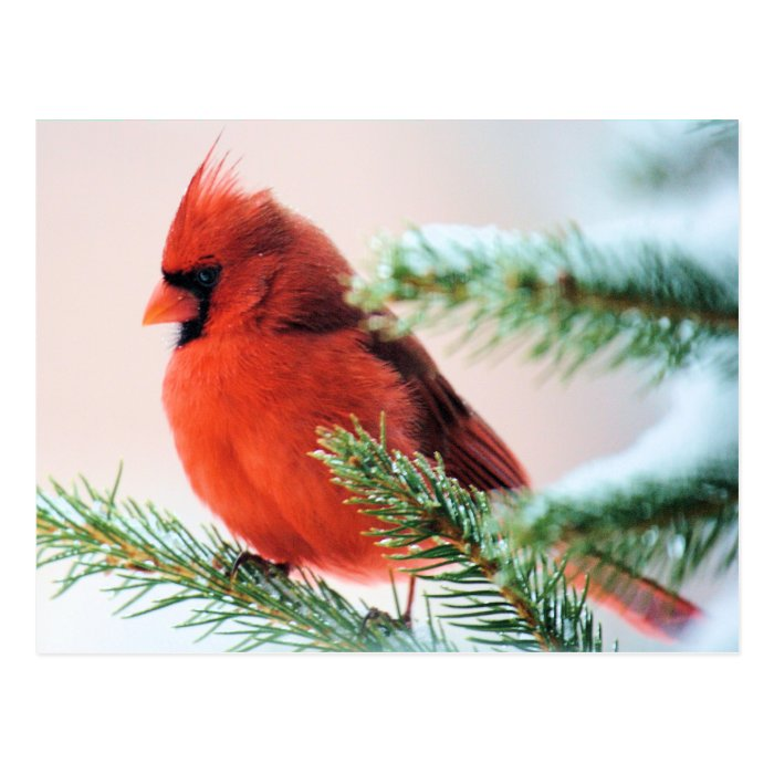 Cardinal in Snow Dusted Fir Postcard
