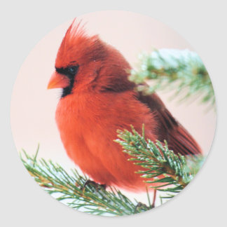 Cardinal in Snow Dusted Fir Round Stickers