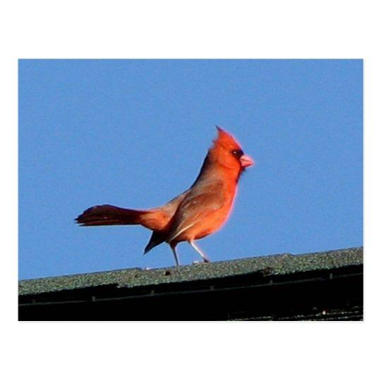 Cardinal on a Roof Postcard