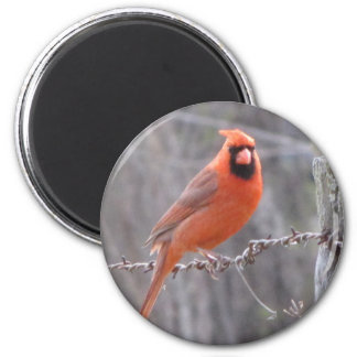 Cardinal on barbed wire 2 inch round magnet