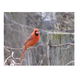 Cardinal on barbed wire postcard