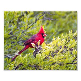 Cardinal Photo Print