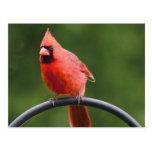 Cardinal Post Cards