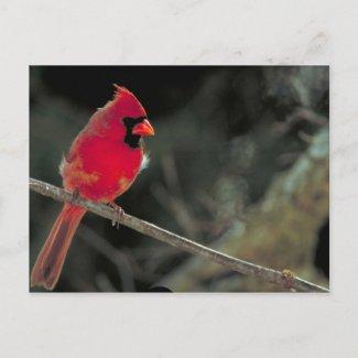 Cardinal Post Card
