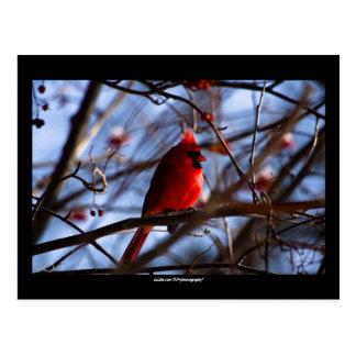 Cardinal -  Postcard