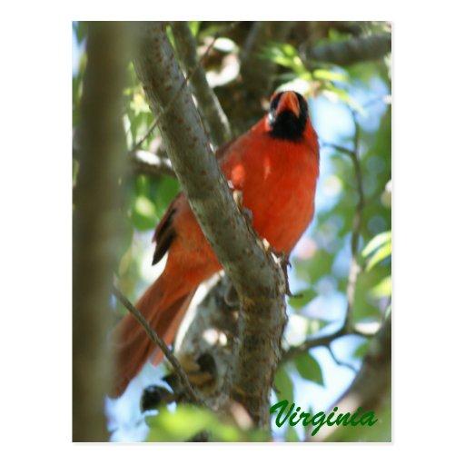 Cardinal Postcard                           ...