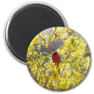 Cardinal Resting In the Forsythia Bush 2 Inch Round Magnet