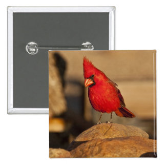 Cardinal, Richmondena cardinalis, South Eastern Button