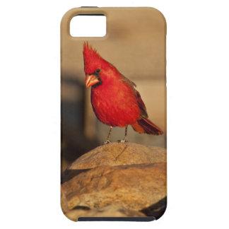 Cardinal, Richmondena cardinalis, South Eastern iPhone 5 Cases