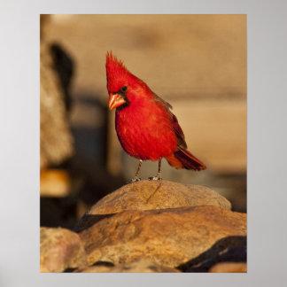 Cardinal, Richmondena cardinalis, South Eastern Poster