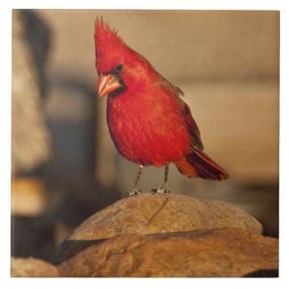 Cardinal, Richmondena cardinalis, South Eastern Tile
