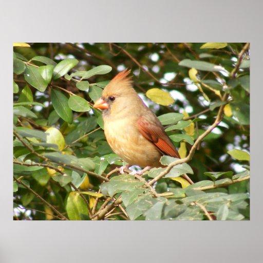 Cardinal Sweetness Print