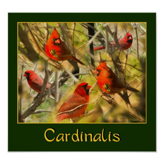Cardinalis - POSTER - Collage of Cardinals