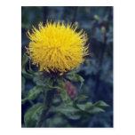 cardo amarillo de la estrella, (Centaurea Macropha Postales