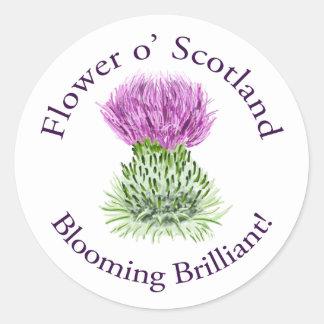 Cardo escocés brillante floreciente pegatina redonda