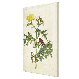 Cardos Spinosus: Beetles and Caterpillars, plate 6 Canvas Print