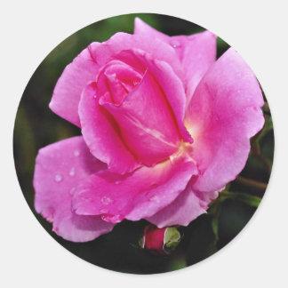 Carefree Beauty Shrub Rose 'Bucbi' White flowers Stickers
