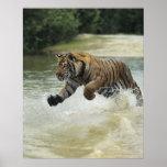 Carga del tigre de Bengala (Panthera el Tigris el  Póster