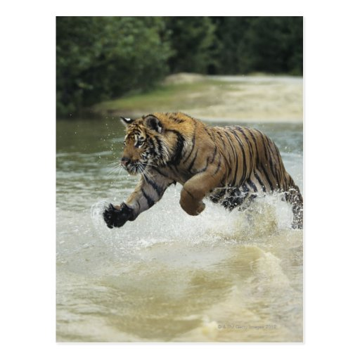 Carga del tigre de Bengala (Panthera el Tigris el Postales